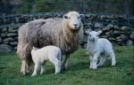 приплод овец