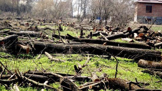 virubka lesa v Nazrani